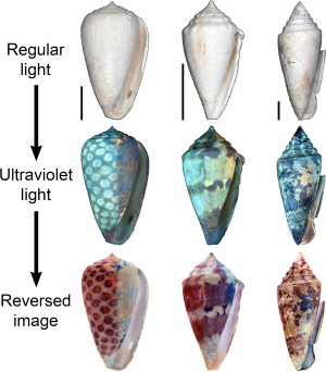 Seashells patterns revealed with UV